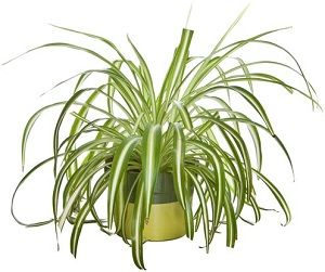 indian-spider-plant